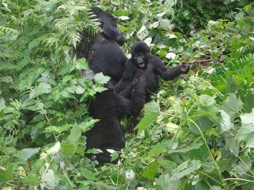Gorilla besuchen Urlaubsreise Uganda