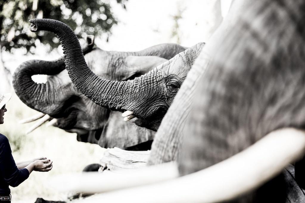 Abu Camp Botswana Elefanten
