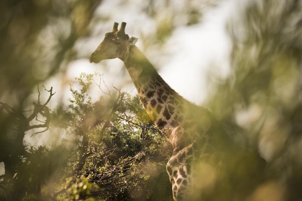 Abu Camp Botswana Giraffen