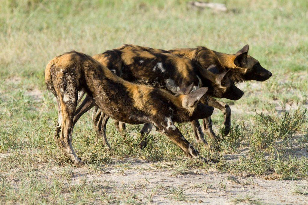 Hyänen