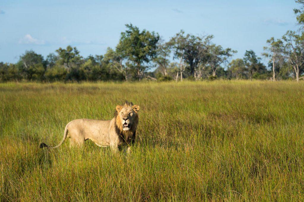Löwe in Botswana Gras