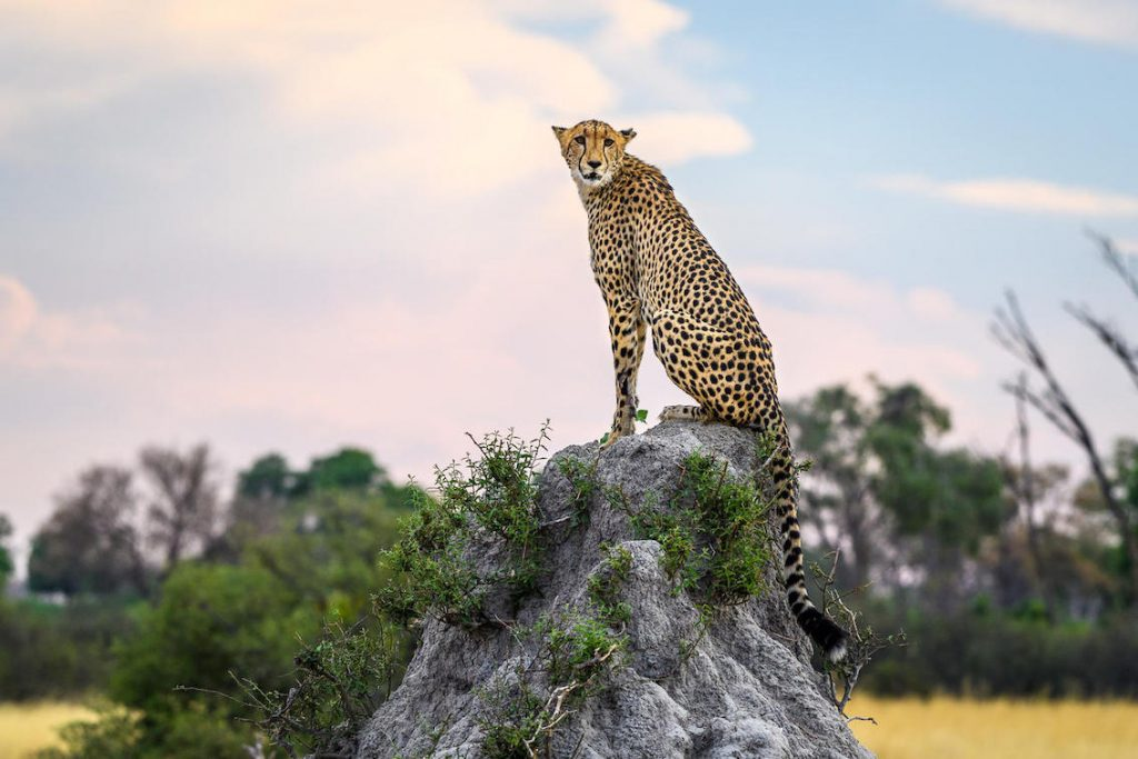 Leopard am Stein sitzend