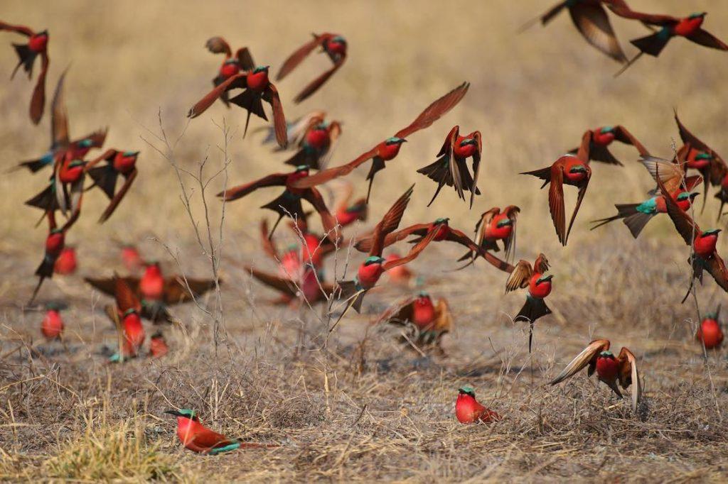 Voegel Rot in Afrika