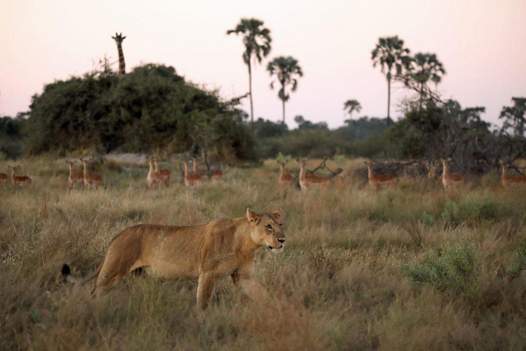 Löwen im Wilderness Resort