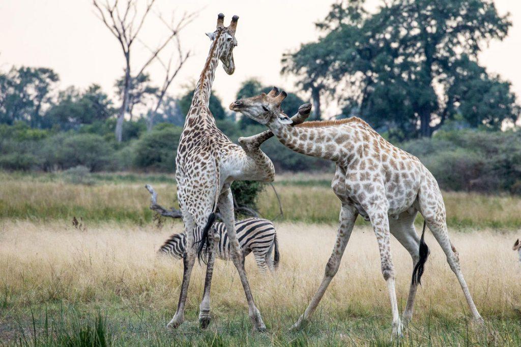 Giraffen Afrika