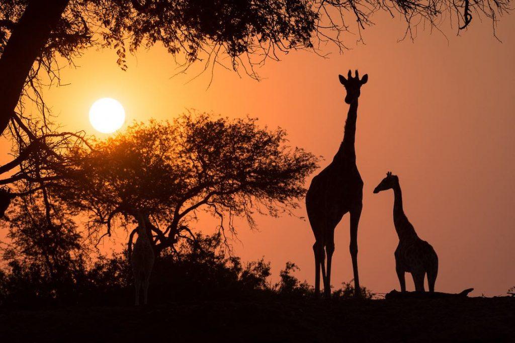 Giraffen Abenddämmerung Namibia
