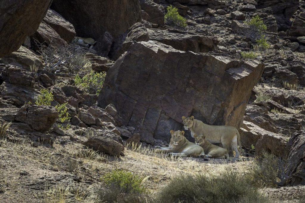 Löwen Namibia Hoanib Wilderness