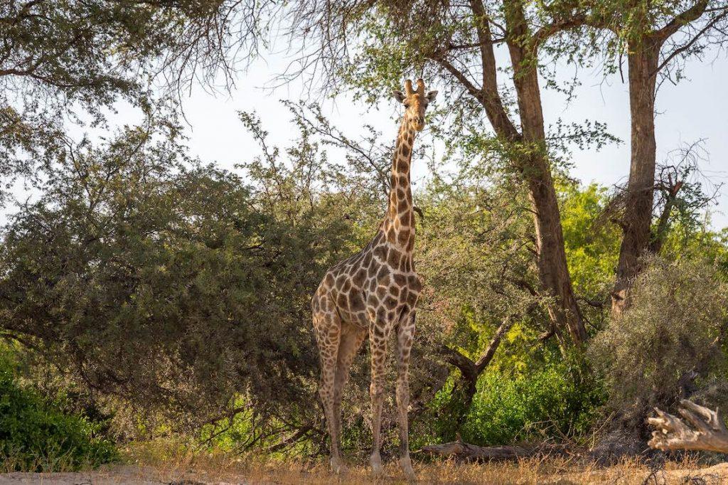 damaraland_Giraffe